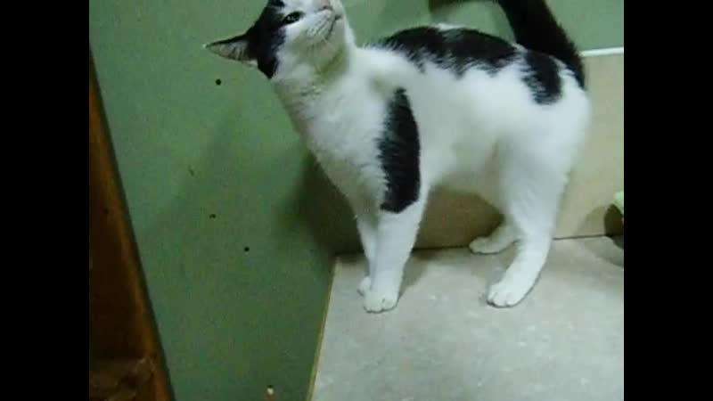 Холмогорская кошка Пухлик