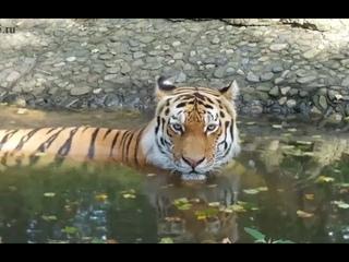 29 июля - Международный день тигра.