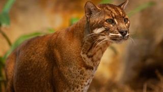 Кошка Темминка — огненное животное с загадочной историей!