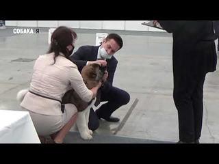 Выставка Казань Серебряный ирбис 2020 ранг CACIB Собака я