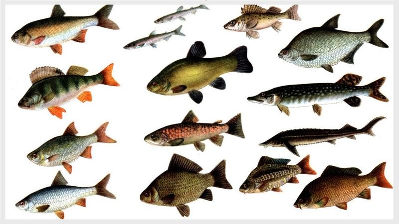ПРЕСНОВОДНЫЕ РЕЧНЫЕ ВИДЫ РЫБЫ Прісноводні річкові риби ФОТО