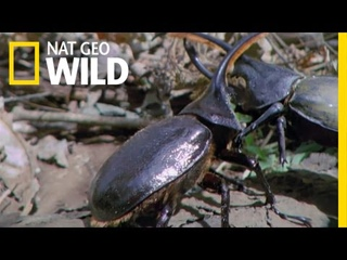 Hercules Beetle Battle   Wild Costa Rica