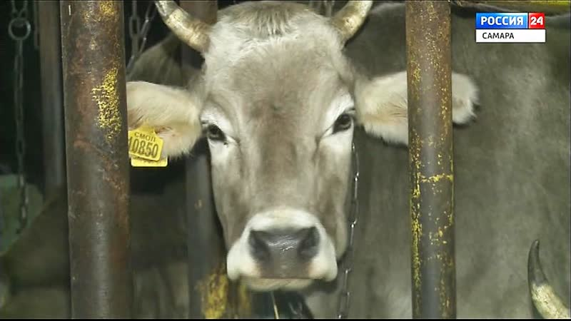 В Челно Вершинах возлагают большие надежды на коров с космическими именами