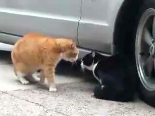 Коты тоже матюкаются!