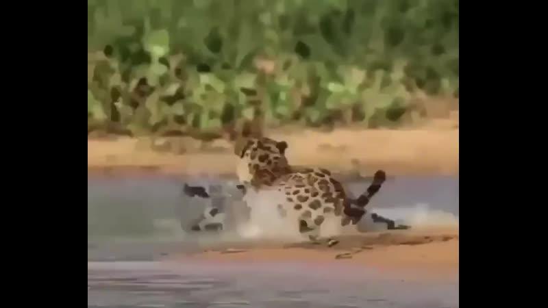 Охота на аллигатора