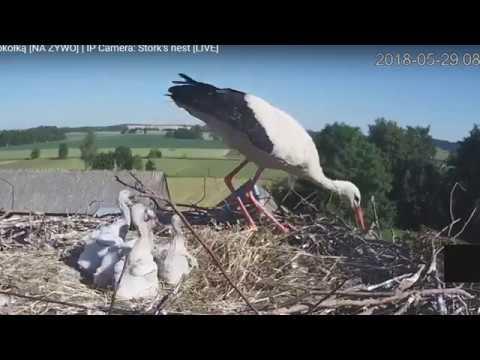 Аист выкидывает птенцов