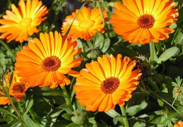 КАЛЕНДУЛА Календула, или, как ее называют в обиходе, ноготки, небольшое садовое однолетнее растение длинной от 5 до 15 см с желтыми или оранжевыми цветками. Существует разнообразная гамма