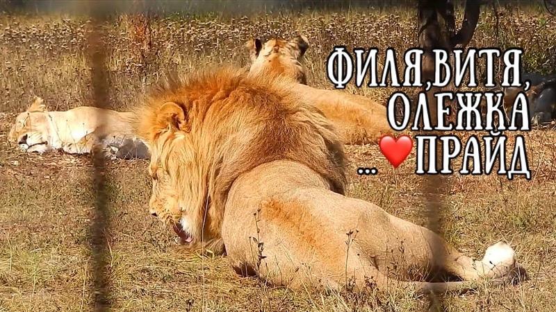 Лев Филя и прайд Любимые львы счастливы вместе❤️ Тайган Life of lions Taigan
