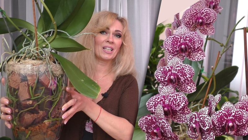 Орхидея Дикий Кот в посадке МАТРЕШКА ВОЗМОЖНО ЛИ ТАКОЕ