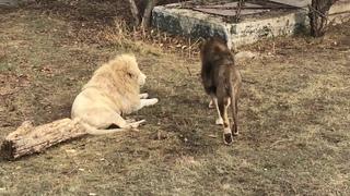 Два здоровяка беляша подурачились, как дети! Two big white lions are fooling around like children!