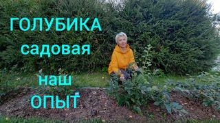 ГОЛУБИКА садовая - наш ОПЫТ - (краткий ОБЗОР)