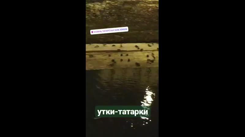 утки татарки