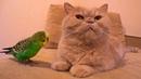 Смешной попугай разговаривает с котом. Забавные животные ヅ