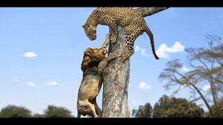 ЛЕОПАРД В ДЕЛЕ! Леопард против льва собак крокодила и обезьян