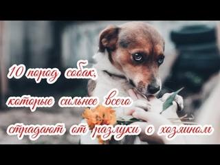 10 пород собак, страдающих от разлуки с хозяином Dogs suffering from separation from their owner