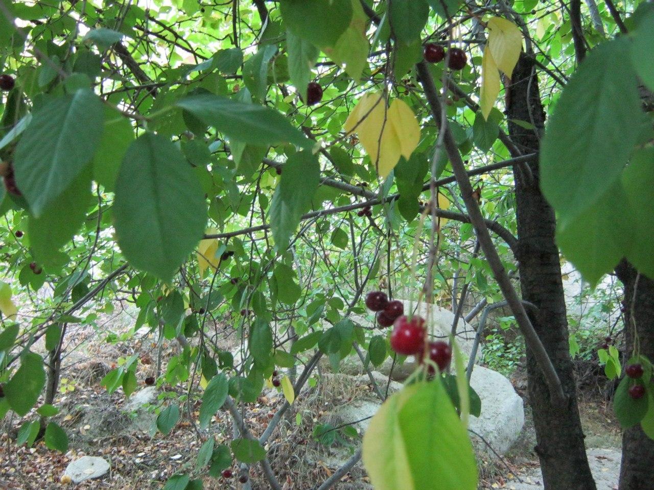 вишня в Каппадокии