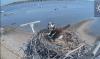 Белоголовые орланы