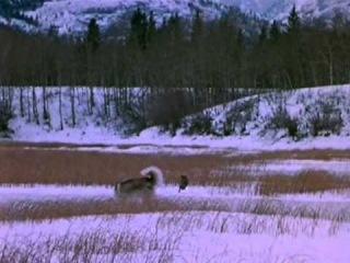 Дикий пёс Севера.Nikki, Wild Dog of the North
