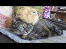 Самый невозмутимый кот в мире)