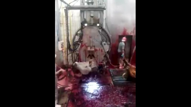 STOPPT diese Tierquälerei So tötet man Tiere für leckeres moslemisches 'halal'-Fleisch. Diese Rinder müssen langsam AUSBLUTE