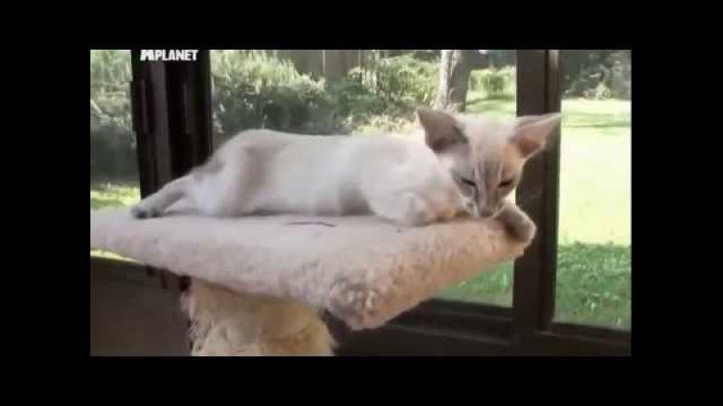Яванская кошка яванез описание породы характер уход