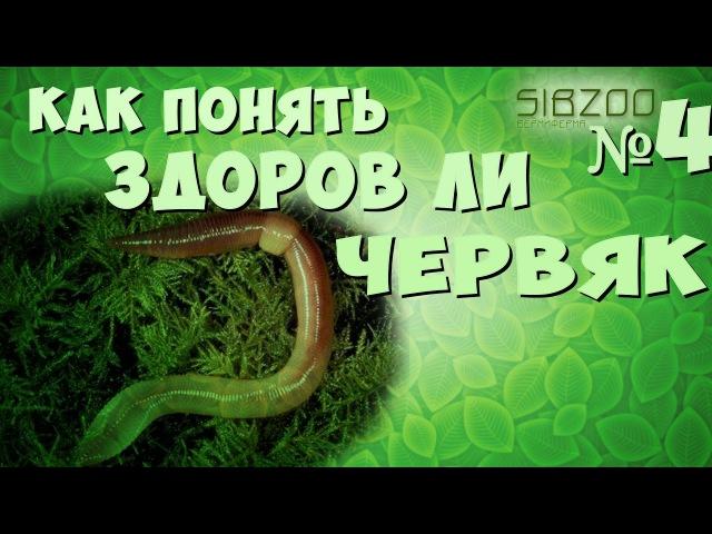 Проверяем качество червяка и нравится ли червю новый корм Вермиферма Sibzoo 4
