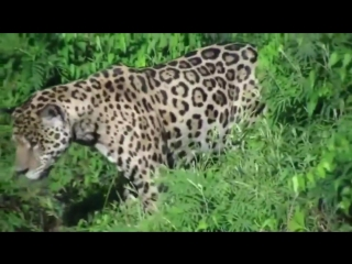 Ягуар охотится на крокодила. jaguar vs crocodile