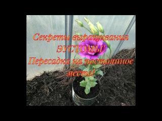 Секреты выращивания эустомы. Пересадка в вазоны на постоянное место🌸🌸🌸