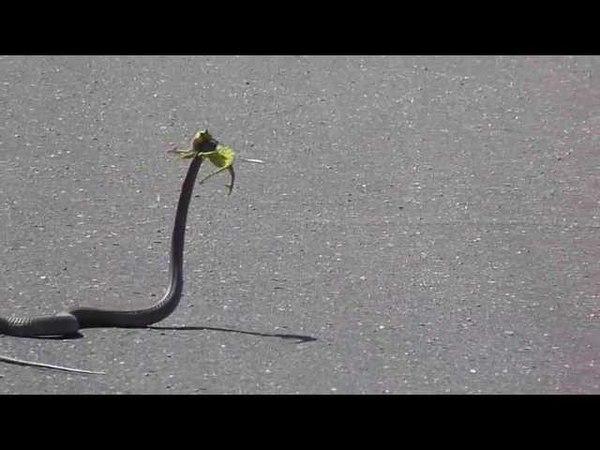 Boomslang attacks flap necked chameleon in Kruger