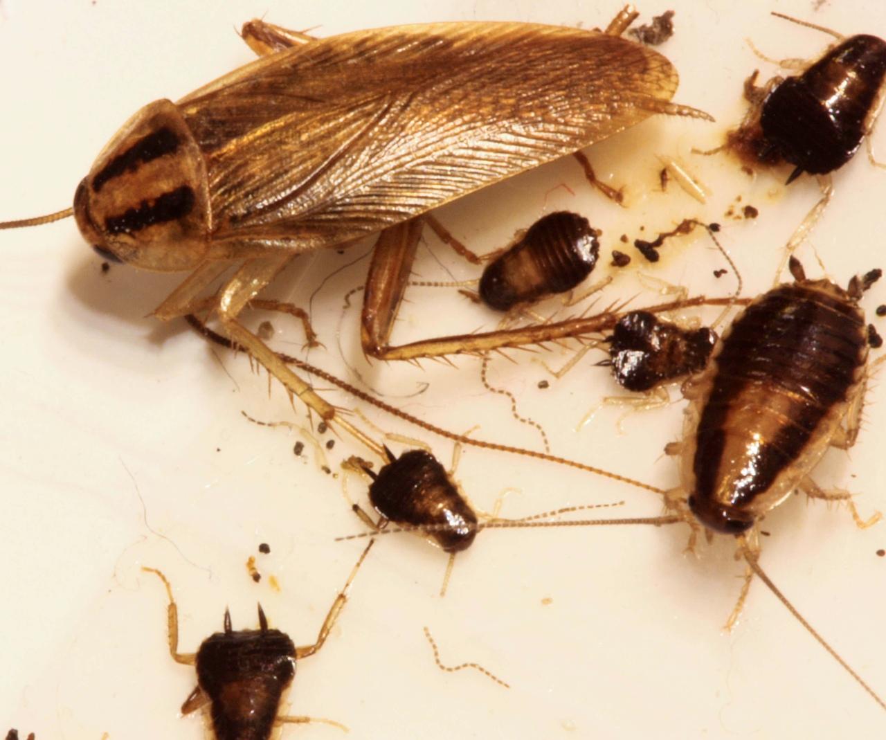 фото домашних тараканов маленьких довод заключается том