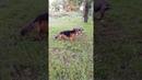 Собачьи игры Альмы и Лари