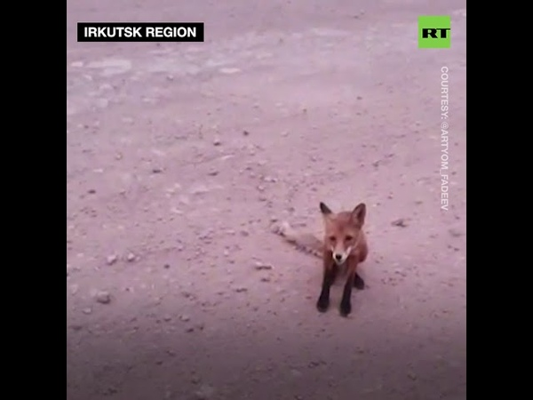 Siberia wildfires: Desperate starving foxes asking for food after fleeing forest fires