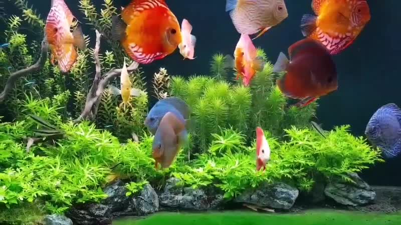 The green Discus Oasis. Amazing Discus Tank Set up by Vitalis Jukneris