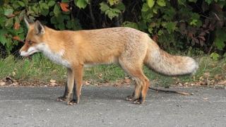 Как сделать живоловушку для лисы своими руками