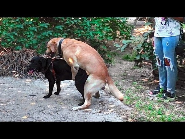 Лабрадоры Джол и Жасмин. Щенки в октябре 2019 Funny Labradors Jol and Jasmine. Meeting
