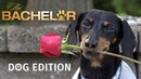 The Bachelor Dog Edition! Who Will Crusoe Give the Rose to?