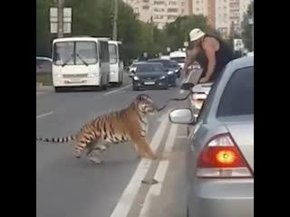 В Иванове тигр вывалился из машины