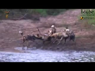 Pack_of_african_wild_dogs_drags_helpless_impala/