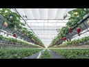 Клубника выращивание по новейшей технологии NGS system СПК Нива Strawberries in greenhouse NGS