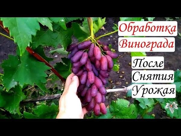 Обработка виноградных кустов после снятия урожая