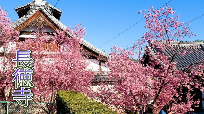 """KYOTO Cherry blossoms Okame zakura""""and kanhi zakura""""of Chotoku ji Temple 長徳寺 #おかめ桜 4K"""