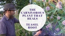 The Carnivorous Plant that Heals | Teasel Root