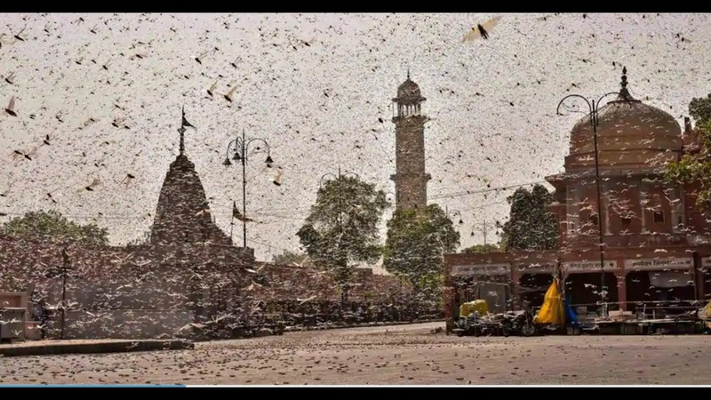 Locust attacks parts of India May 25 2020