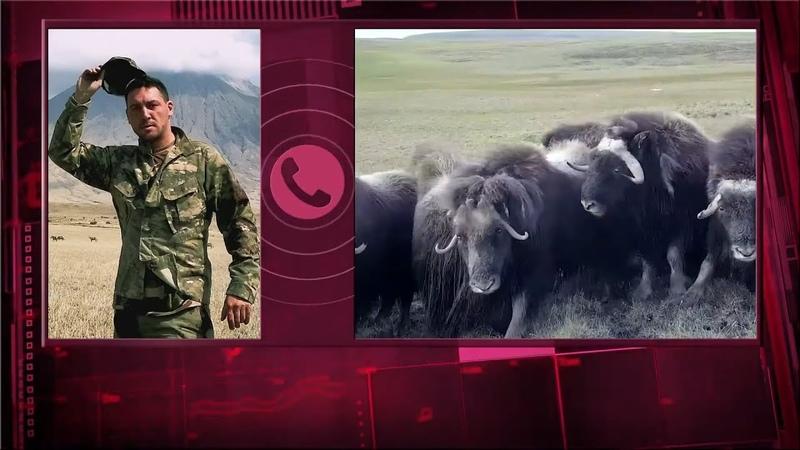 Остров Завьялова на Колыме заселяют овцебыками из Якутии