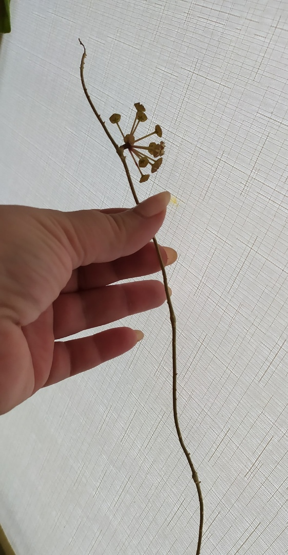 Хойя Финлайсони Лонг Лиф (Hoya finlaysonii Long Leaf) ULDLgvE8aG8