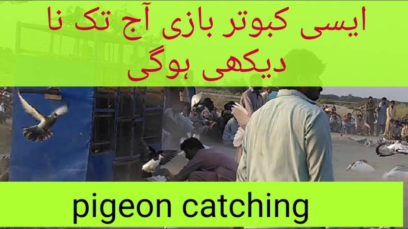 Beautifull pigeon sport and competition from janubi punjab pakistan hd video