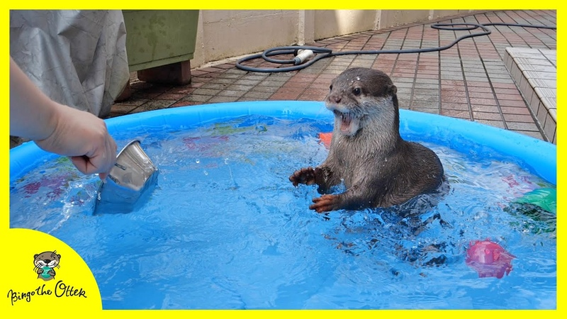 カワウソビンゴ夏休み 初めてのプールで大はしゃぎ! Otter