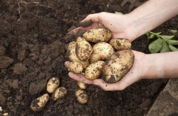 Как и когда копать картофель, который хочется сохранить до весны