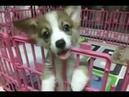 [Video 1] Park Jung Min's Cute JeomRye (Pembroke Welsh Corgi)