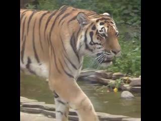 Тигр и лев соревнуются за звание короля в Московском зоопарке